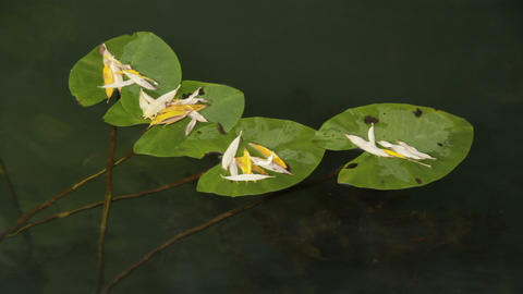 leaves of water lilies Footage