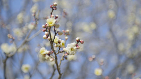 Flowers of White Plum in Koganei park,Tokyo,Japan Stock Video Footage
