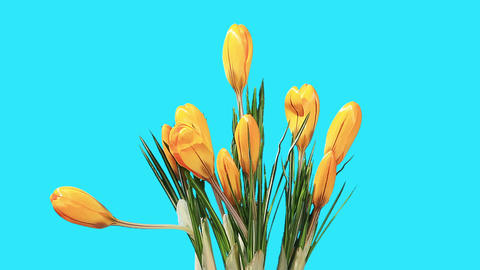 Growth of yellow crocuses flower buds ALPHA matte (Crocus Grand Yellow) (Time Lapse) Footage