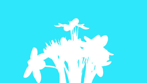 Growth of yellow crocuses flower buds ALPHA matte (Crocus... Stock Video Footage