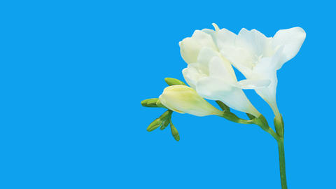 Time-lapse opening white Freesia flower buds ALPHA matte,... Stock Video Footage