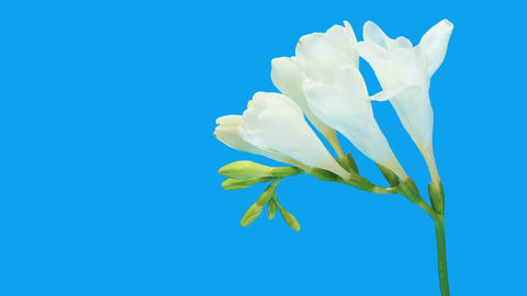 Time-lapse opening white Freesia flower buds ALPHA matte, (Freesia double White) Footage