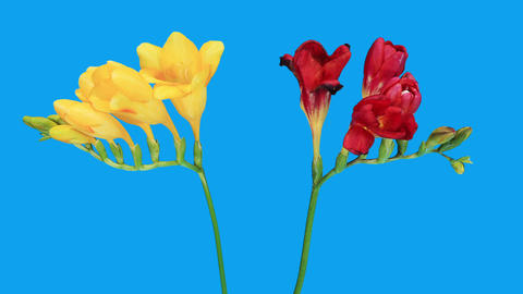 Time-lapse opening Freesia flower buds against the... Stock Video Footage