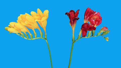 Time-lapse opening Freesia flower buds against the background of clouds, (Freesia) Footage