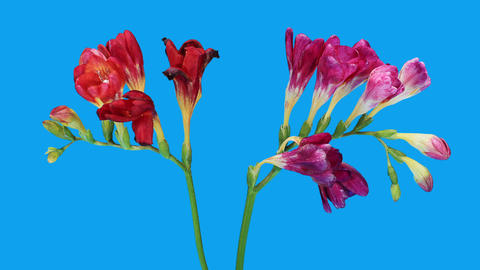 Time-lapse opening Freesia flower buds ALPHA matte,... Stock Video Footage
