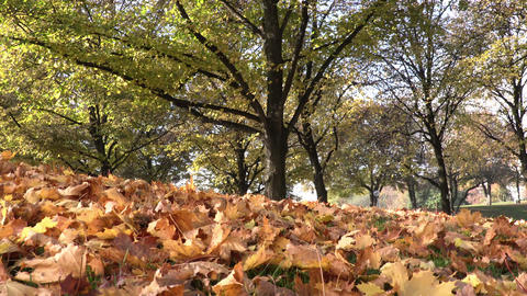 Falling Leaves from tree in autumn time Footage