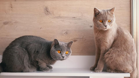 Two British Gray Home Cats Sitting on Table, Watching Movement of Object. Close Live Action