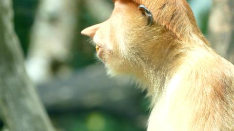 Proboscis monkey female, eating leaf Footage