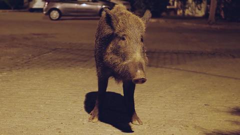 Big wild boar Live Action