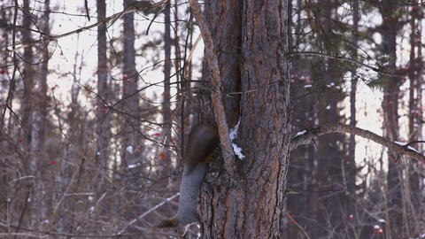 A gray squirrel runnig down a tree Footage