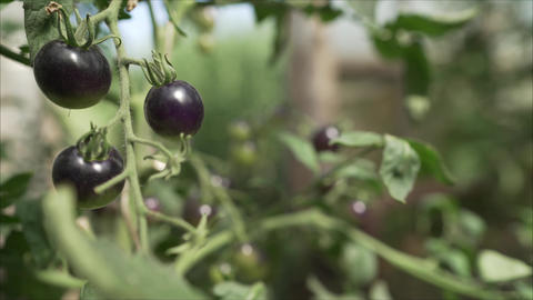 Black tomatoes grow in a greenhouse. Black tomato ripening on a vine in a Live Action