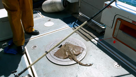 Ray fish kept on boat Live Action