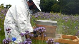 Beekeeper using bee smoker Live Action