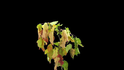 Time-lapse of drying tree leaves in RGB + ALPHA matte format Footage