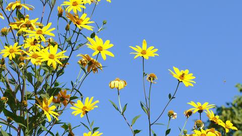 Jerusalem Artichoke Flowers Bees Blue Sky Footage