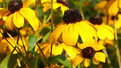 Bright Flowers Yellow Rudbeckia Footage