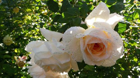 Romantic Blooms Hybrid Tea Rose Footage