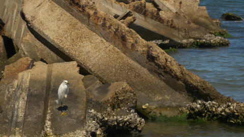 Wide Shot of Snowy Egret Standing on Old Bridge Ruins, 4K Filmmaterial