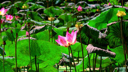Blooming pink lotus flower sways and flutters in the wind Footage