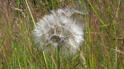 Dandelion spreading parachutes from blowball in wind gusts Stock Video Footage