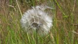 Dandelion Spreading Parachutes From Blowball In Wind Gusts stock footage