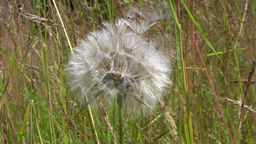 Dandelion spreading parachutes from blowball in wind gusts Footage
