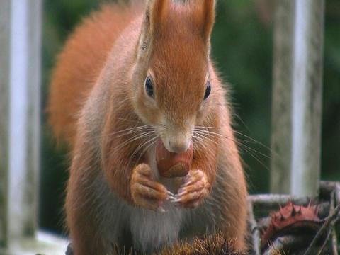 Squirrel eats hazelnut Stock Video Footage