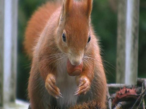 Squirrel eats hazelnut Stock Video Footage
