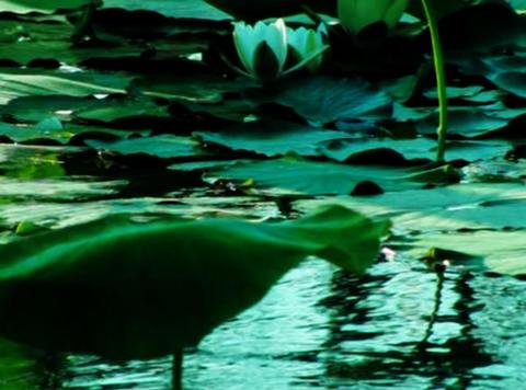 Lotus Flower 01 Loop Stock Video Footage