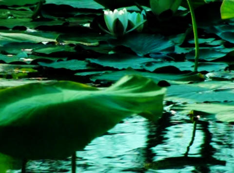Lotus Flower 01 Loop Stock Video Footage