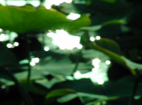 Lotus Leaves 010 Loop Stock Video Footage