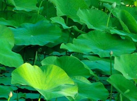 Lotus Leaves 012 Loop Stock Video Footage