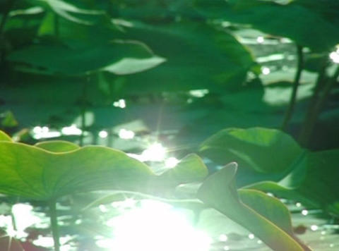 Lotus Leaves 02 Loop Stock Video Footage