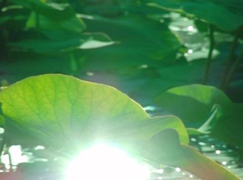 Lotus Leaves 02 Loop Stock Video Footage