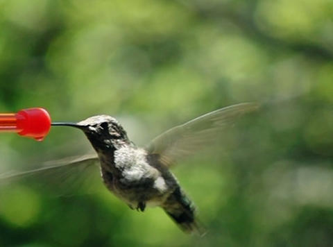 Humming Bird 01 700fps Stock Video Footage