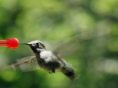 Humming Bird 01 700fps Footage