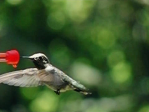 Humming Bird 02 8400fps Footage