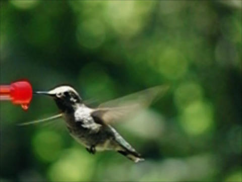 Humming Bird 02 8400fps Stock Video Footage