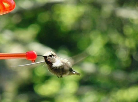 Humming Bird 03 fly in and out 210fps Footage