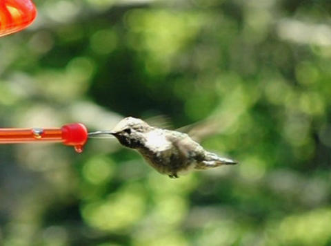 Humming Bird 03 fly in and out 210fps Stock Video Footage