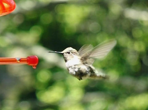 Humming Bird 05 fly away 700fps Stock Video Footage