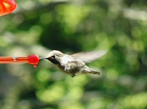 Humming Bird 05 fly away 700fps Footage