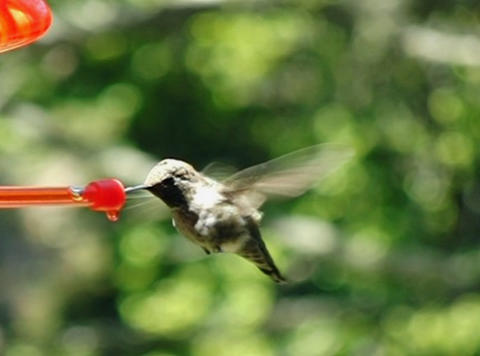 Humming Bird 06 through up 1050fps Footage