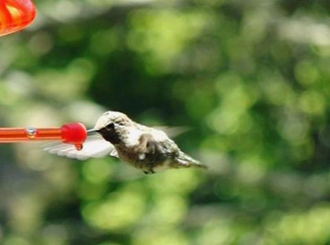 Humming Bird 06 through up 1050fps Stock Video Footage