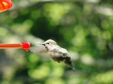 Humming Bird 07 Poop 700fps Stock Video Footage