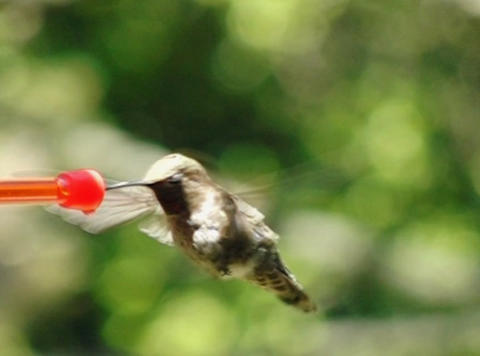 Humming Bird 08 Red Fly away 700fps Footage