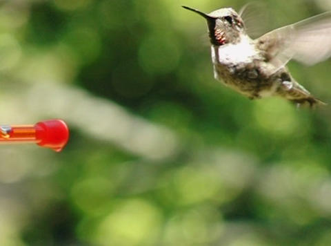 Humming Bird 08 Red Fly away 700fps Stock Video Footage