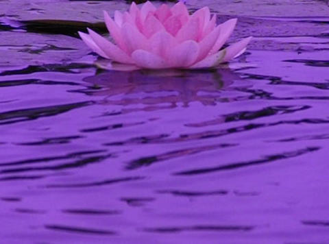 Lotus A Water Drops and Ripples 2 Loop Stock Video Footage