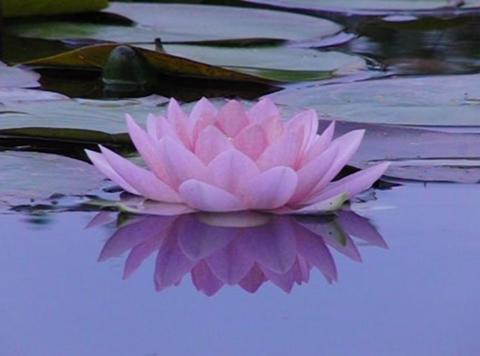 Lotus B Reflections on Water 1 Loop Stock Video Footage