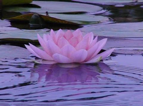 Lotus B Water Drops and Ripples Loop Stock Video Footage